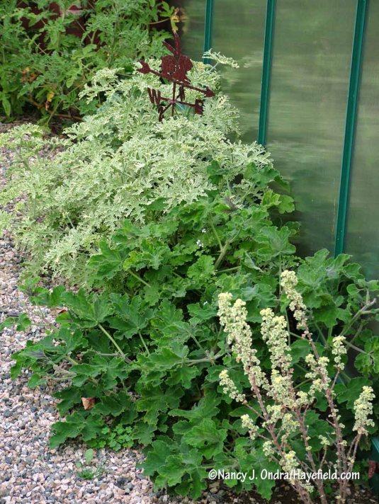 'Variegated Prince Rupert' lemon geranium (Pelargonium crispum), 'Chocolate Mint' geranium, and 'Lady Plymouth' geranium (P. graveolens) [Nancy J. Ondra/Hayefield.com]
