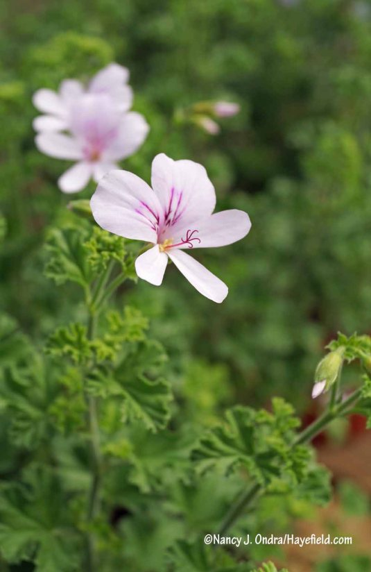 Lemon geranium (Pelargonium crispum) [Nancy J. Ondra/Hayefield.com]