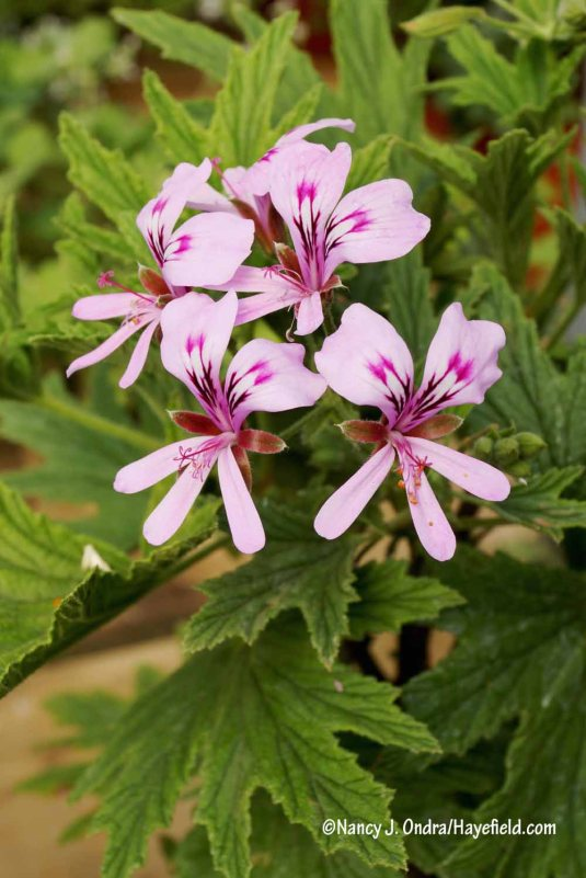 'Mabel Grey' scented geranium (Pelargonium) [Nancy J. Ondra/Hayefield.com]