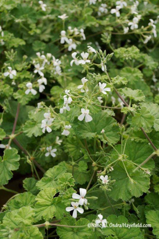 'Old Spice' scented geranium (Pelargonium) [Nancy J. Ondra/Hayefield.com]