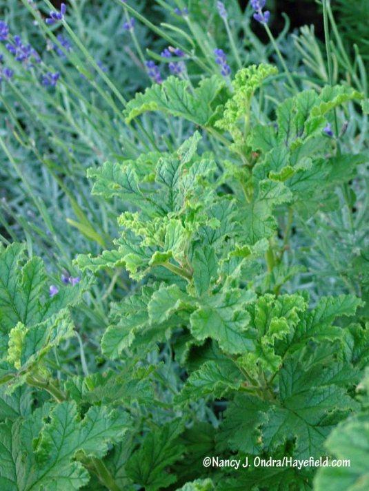 Oakleaf scented geranium (Pelargonium quercifolium) [Nancy J. Ondra/Hayefield.com]