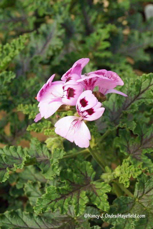 'Purple Unique' scented geranium (Pelargonium) [Nancy J. Ondra/Hayefield.com]