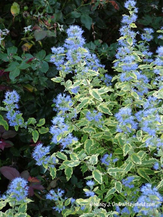 'Summer Sorbet' blue mist shrub (Caryopteris x clandonensis) is lovely in leaf and even better in bloom, when its fluffy blue flowers complement the yellow-edged foliage. [Nancy J. Ondra/Hayefield.com]