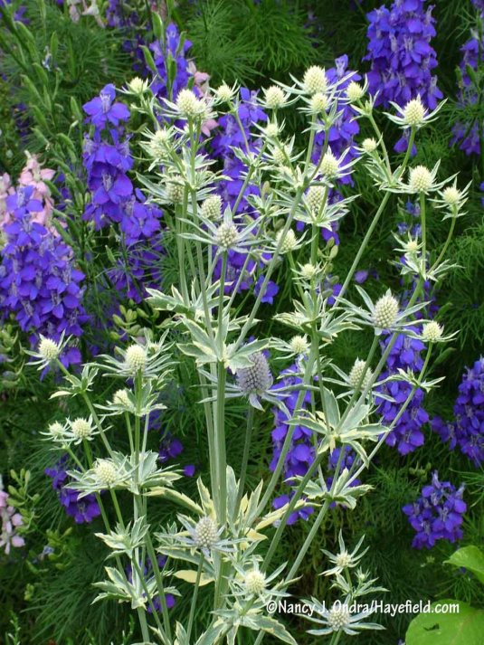 'Jade Frost' sea holly (Eryngium planum) against giant larkspur (Consolida ajacis) [Nancy J. Ondra/Hayefield.com]