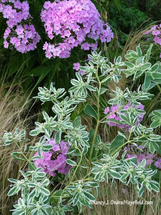 How about a pink garden phlox (Phlox paniculata) with snow-on-the-mountain (Euphorbia marginata)? [Nancy J. Ondra/Hayefield.com]
