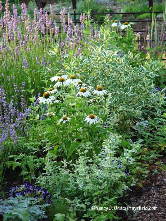 'White Swan' purple coneflower (Echinacea purpurea) between pineapple mint (Mentha suaveolens 'Variegata') and Creme de Mint dogwood (Cornus alba 'Crmizam') [Nancy J. Ondra/Hayefield.com]
