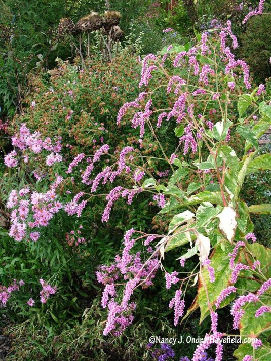 The pink tails of 'Shiro-gane Nishiki' kiss-me-over-the-garden-gate (Persicaria orientalis) are a pleasing match for its cream- to white-variegated leaves. [Nancy J. Ondra/Hayefield.com]
