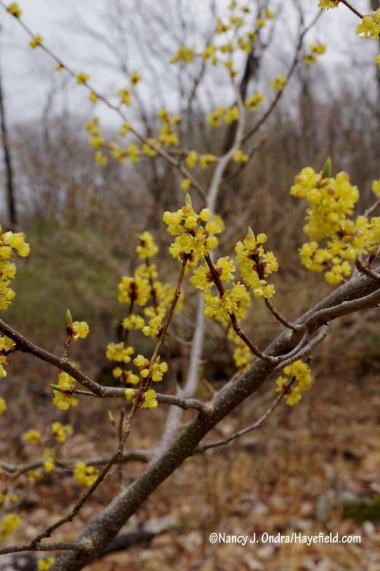 Spicebush (Lindera benzoin) [Nancy J. Ondra/Hayefield.com]