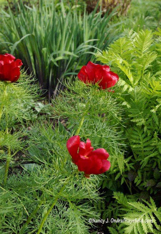 Fernleaf peony (Paeonia tenuifolia) [Nancy J. Ondra/Hayefield.com]