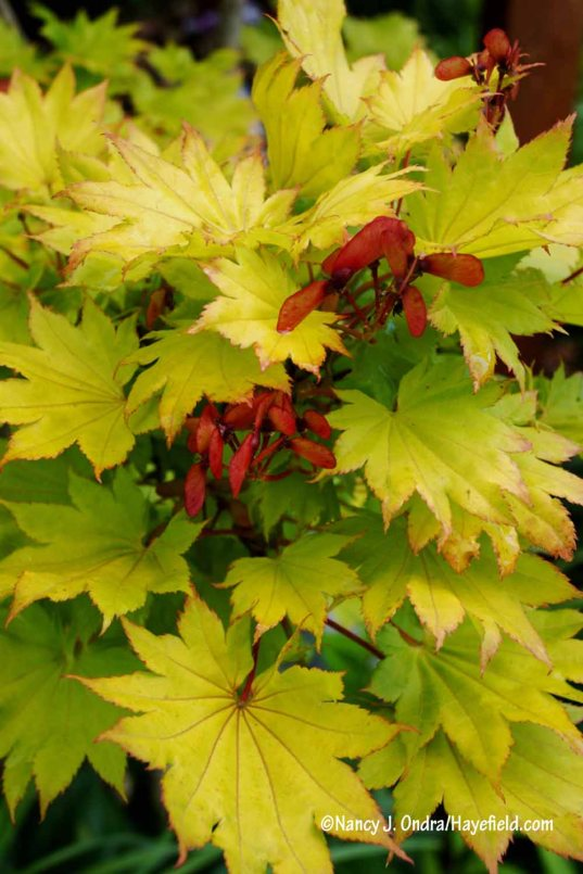 Golden full moon maple (Acer shirasawanum 'Aureum') [Nancy J. Ondra/Hayefield.com]