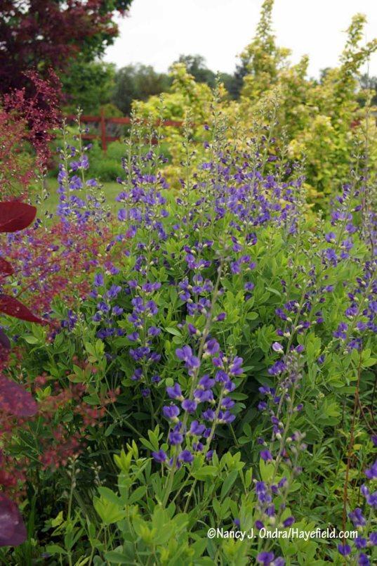 Blue false indigo (Baptisia australis) [Nancy J. Ondra/Hayefield.com]
