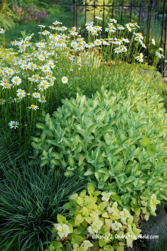 Sedum alboroseum 'Mediovariegatum' with golden lemon balm (Melissa officinalis 'All Gold'), 'Prairie Munchkin' little bluestem (Schizachyrium scoparium), and oxeye daisies (Leucanthemum vulgare, aka Chrysanthemum leucanthemum) [Nancy J. Ondra/Hayefield.com]
