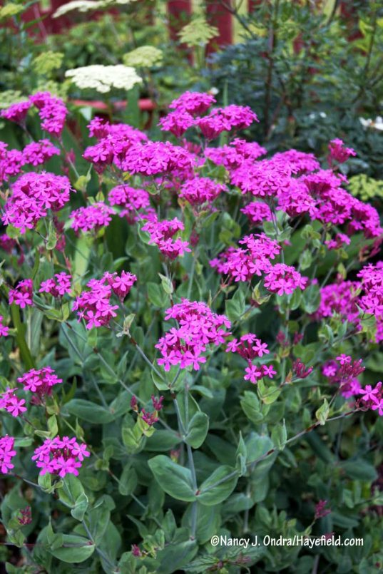 Sweet William catchfly (Silene armeria) [Nancy J. Ondra/Hayefield.com]