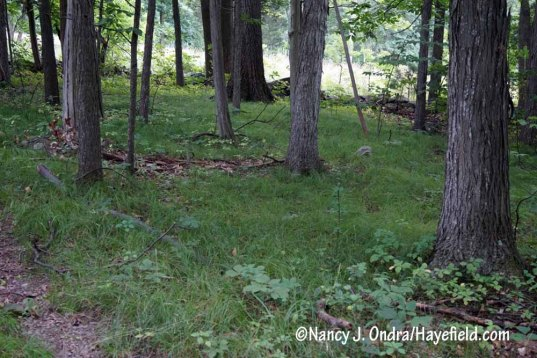 Pennsylvania sedge (Carex pensylvanica) making a lovely natural groundcover in these Pennsylvania woods [Nancy J. Ondra/Hayefield.com]