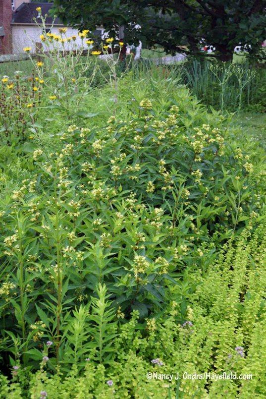 Southern bush honeysuckle (Diervilla sessilifolia) with golden oregano (Origanum vulgare 'Aureum') and giant fleabane (Inula magnifica) [Nancy J. Ondra/Hayefield.com]