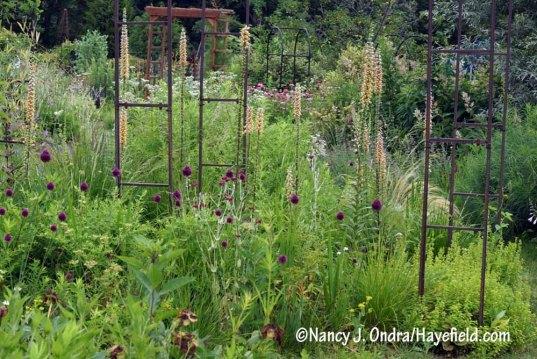 Rusty foxglove (Digitalis ferruginea) and drumstick allium (Allium sphaerocephalon) in the side garden [Nancy J. Ondra/Hayefield.com]