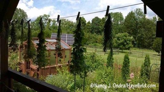 """Pre-drying"" herbs and flowers outdoors [Nancy J. Ondra/Hayefield.com]"