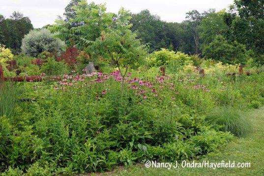 Purple coneflowers (Echinacea purpurea) in the TDF border [Nancy J. Ondra/Hayefield.com]