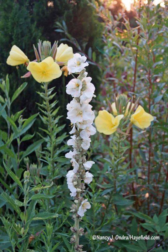'Governor George Aiken' mullein (Verbascum): fresh flowers open each morning through much of the summer [Nancy J. Ondra/Hayefield.com]
