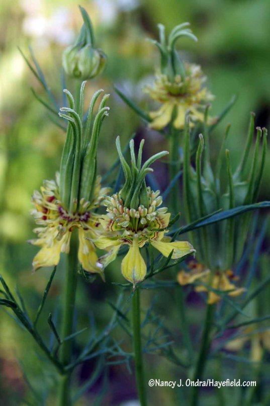 New for me this year: 'Transformer' fennel flower (Nigella orientalis) [Nancy J. Ondra/Hayefield.com]