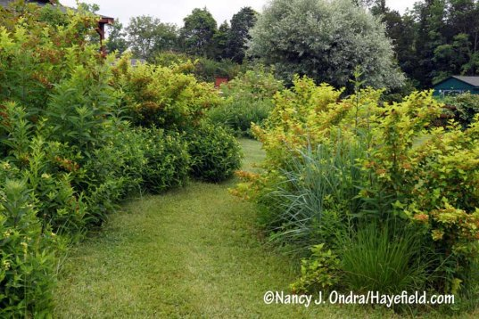 A path in The Shrubbery, lined with southern bush honeysuckle (Diervilla sessilifolia) and 'Dart's Golden' ninebark (Physocarpus opulifolius) [Nancy J. Ondra/Hayefield.com]