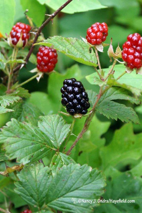 Allegheny blackberry (Rubus allegheniensis) [Nancy J. Ondra/Hayefield.com]