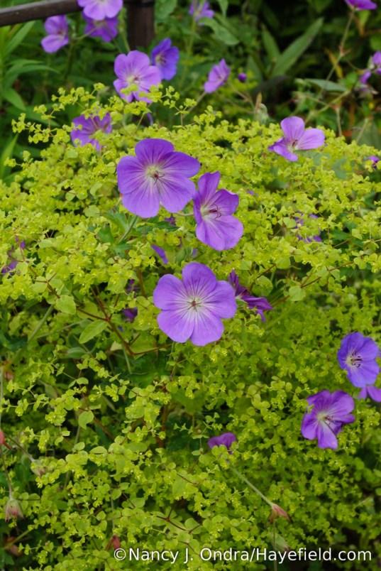 Rozanne geranium (Geranium 'Gerwat') with upright spurge (Euphorbia stricta 'Golden Foam') [Nancy J. Ondra/Hayefield.com]