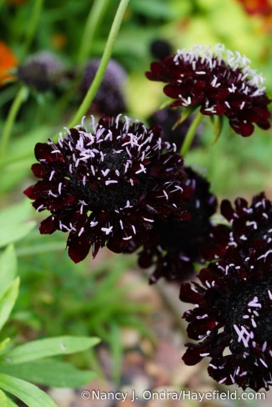 'Black Knight' pincushion flower (Scabiosa atropurpurea) [Nancy J. Ondra/Hayefield.com]