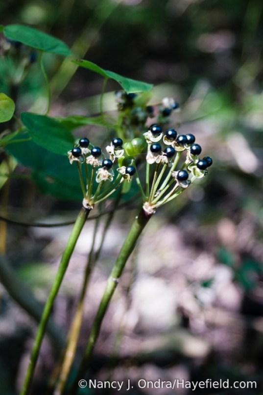 Ramps (Allium tricoccum) in seed [Nancy J. Ondra/Hayefield.com]