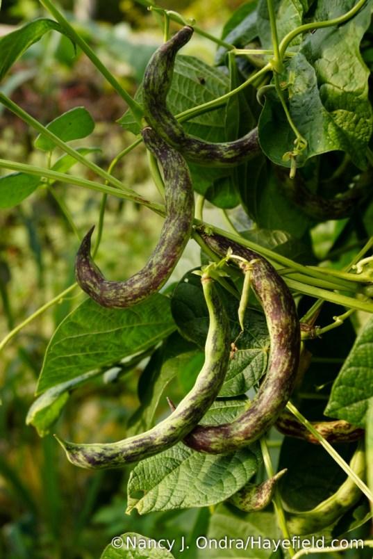 'Stortino di Trento' pole bean (Phaseolus vulgaris) [Nancy J. Ondra/Hayefield.com]