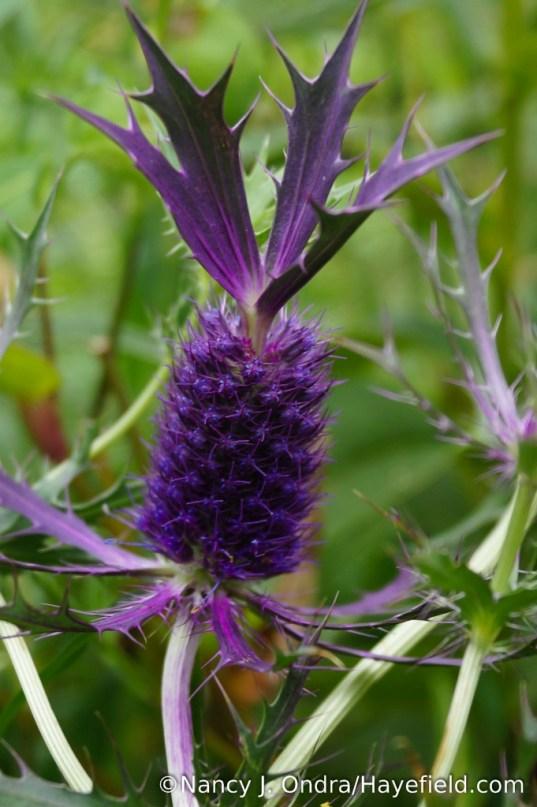 Leavenworth's eryngo (Eryngium leavenworthii) [Nancy J. Ondra/Hayefield.com]