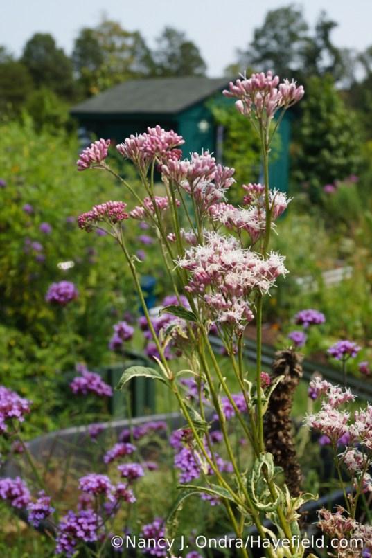'Pink Frost' Japanese Joe-Pye weed (Eupatorium fortunei) [Nancy J. Ondra/Hayefield.com]