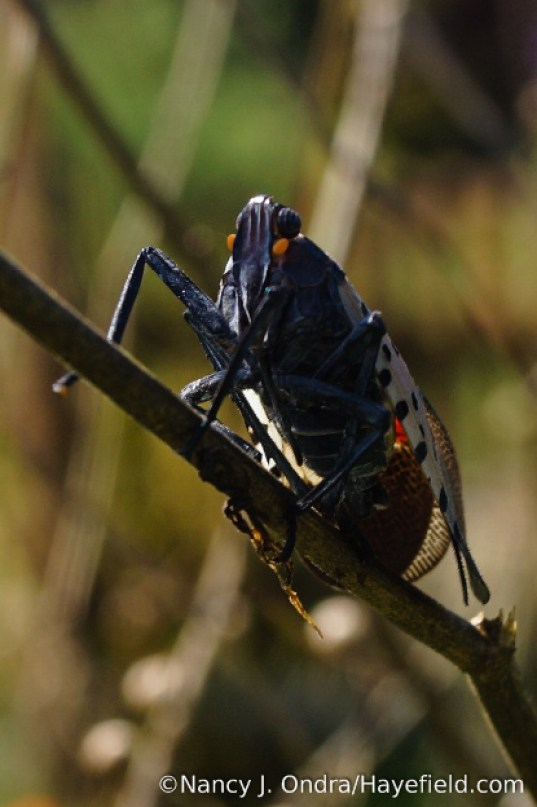Spotted lanternfly (Lycorma delicatula) adult [Nancy J. Ondra/Hayefield.com]