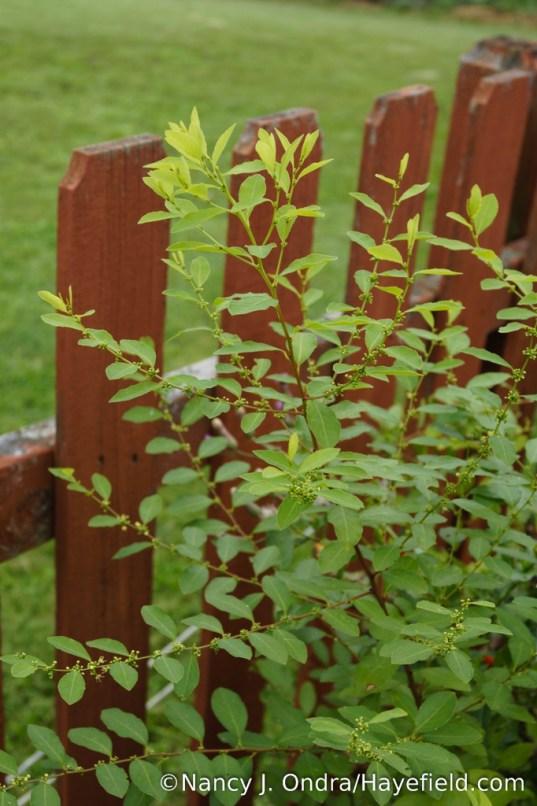 Flueggea suffruticosa: male plant in flower [Nancy J. Ondra/Hayefield.com]