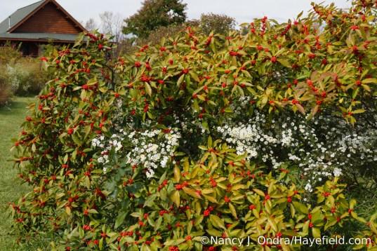 'Winter Red' winterberry holly (Ilex verticillata) [Nancy J. Ondra/Hayefield.com]