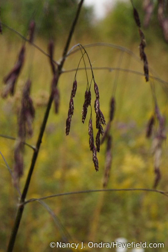 Purpletop (Tridens flavus) [Nancy J. Ondra/Hayefield.com]