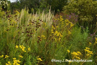 Consider pairing purple Japanese burnet (Sanguisorba tenuifolia var. purpurea) with the pale heads of tall ornamental grasses, such as 'Karl Foerster' feather reed grass (Calamagrostis x acutiflora). [Nancy J. Ondra/hayefield.com/nancyjondra.com]