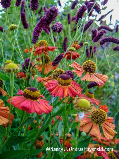This is one of my all-time favorite combinations! I love how the darkening centers of 'Coppelia' Helen's flower (Helenium) are a perfect echo for the flowers of purple Japanese burnet (Sanguisorba tenuifolia var. purpurea). [Nancy J. Ondra/hayefield.com/nancyjondra.com]
