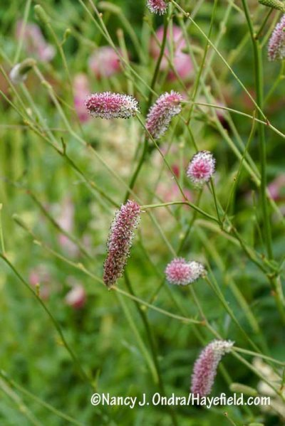 A pink-flowered seedling of Japanese burnet (Sanguisorba tenuifolia) [Nancy J. Ondra/hayefield.com/nancyjondra.com]