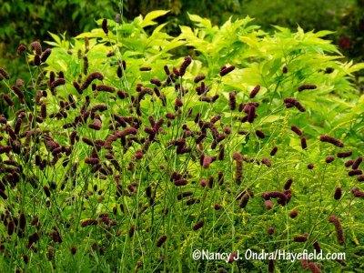 The flowers of purple Japanese burnet (Sanguisorba tenuifolia var. purpurea) show off beautifully against bright yellow foliage, like that of golden elderberry (Sambucus nigra 'Aurea'). [Nancy J. Ondra/hayefield.com/nancyjondra.com]