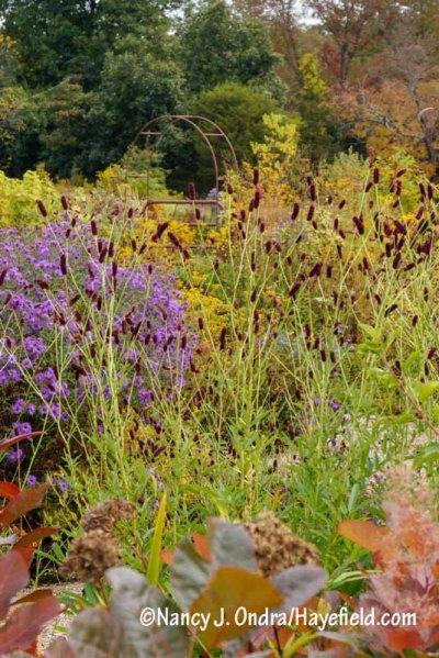 Purple Japanese burnet (Sanguisorba tenuifolia var. purpurea) with 'Hella Lacy' New England aster (Symphyotrichum novae-angliae) and the foliage of 'Grace' smoke bush (Cotinus) [Nancy J. Ondra/hayefield.com/nancyjondra.com]
