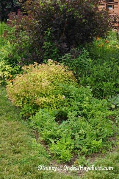 Purple Japanese burnet (Sanguisorba tenuifolia var. purpurea) plants about 3 weeks after being cut to the ground (June 22) [Nancy J. Ondra/hayefield.com/nancyjondra.com]