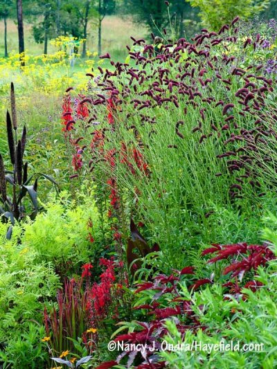 Purple Japanese burnet (Sanguisorba tenuifolia var. purpurea) also looks great with reds, such as cardinal flower (Lobelia cardinalis) and Japanese blood grass (Imperata cylindrica 'Rubra'). [Nancy J. Ondra/hayefield.com/nancyjondra.com]