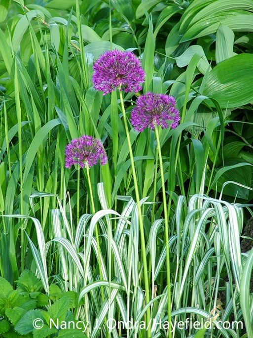The purple flowers of Allium aflatunense with the white-striped ribbon grass (Phalaris arundinacea var. picta 'Picta'); some of the variegated grass has reverted to the invasive all-green species, canary reed grass (Phalaris arundinacea) [Nancy J. Ondra/nancyjondra.com]
