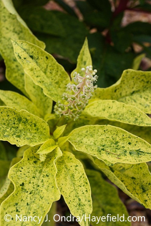 The foliage (leaves) and flower of variegated pokeweed (Phytolacca americana 'Variegata', also known as 'Silberstein') [Nancy J. Ondra/nancyjondra.com]