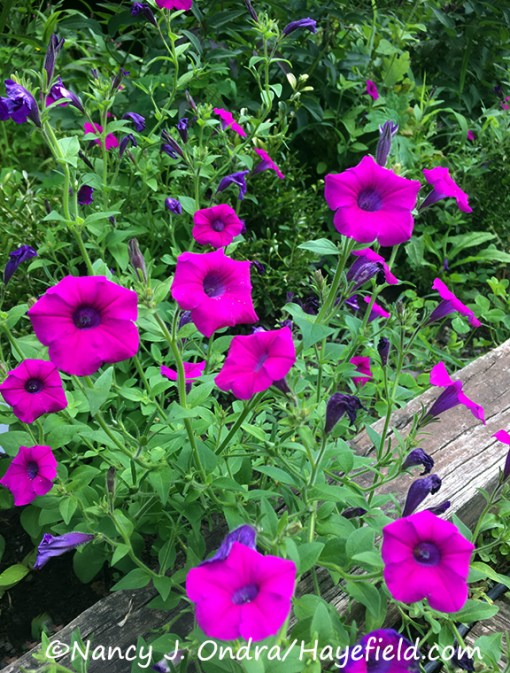 Petunia integrifolia [©Nancy J. Ondra/Hayefield.com]