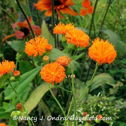 'Irish Poet' tassel flower (Emilia javanica) [©Nancy J. Ondra/Hayefield.com]