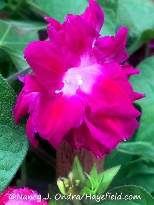 Ipomoea purpurea 'Sunrise Serenade' [©Nancy J. Ondra/Hayefield.com]