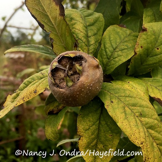 Medlar (Mespilus germanica) [©Nancy J. Ondra/Hayefield.com]