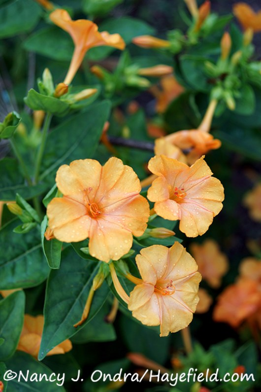 'Orange Crush' four-o'clock (Mirabilis jalapa) [©Nancy J. Ondra/Hayefield.com]